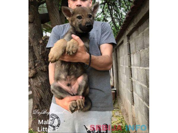 Češkoslovački vučiji psi - štenci