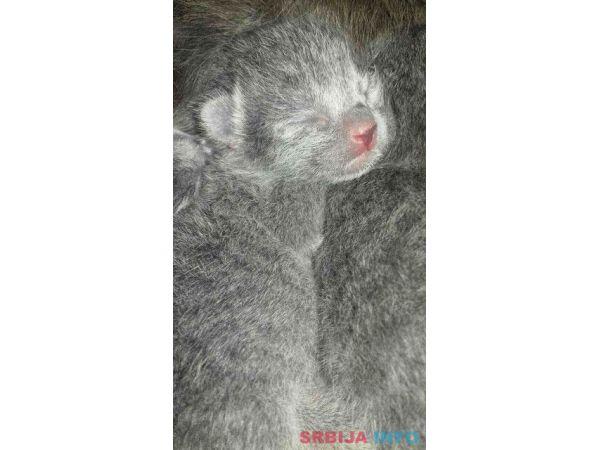 Ruska plava mačka, mačići