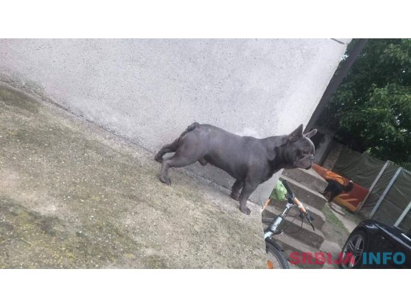 Plavi francuski buldog