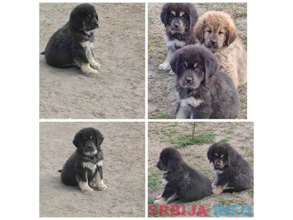 Tibetski mastif štenci
