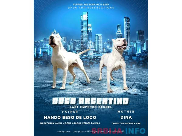 Dogo argentino štenci