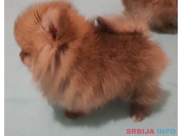 Čistokrvni štenci Pomeranca BOO