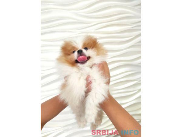 Pomeranac muško štene