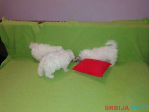 Maltezer štenci