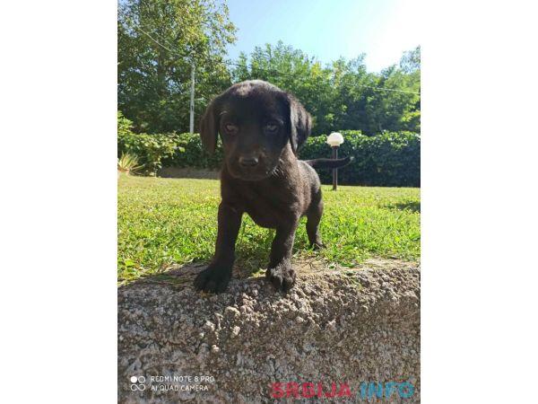 Prelepi stenci Labradora na prodaju