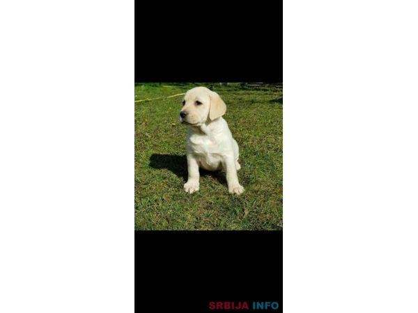 Top leglo Labrador retrivera