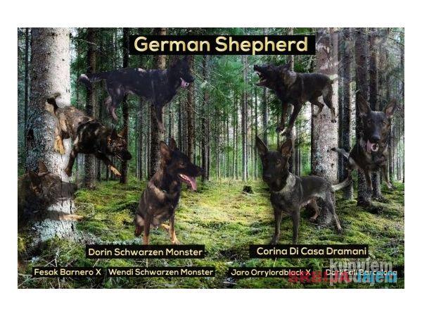 Nemacki ovcar stenci