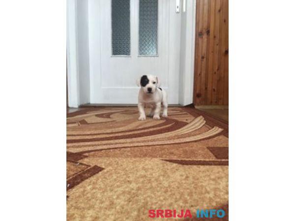 Jack Russell terijer, štenci