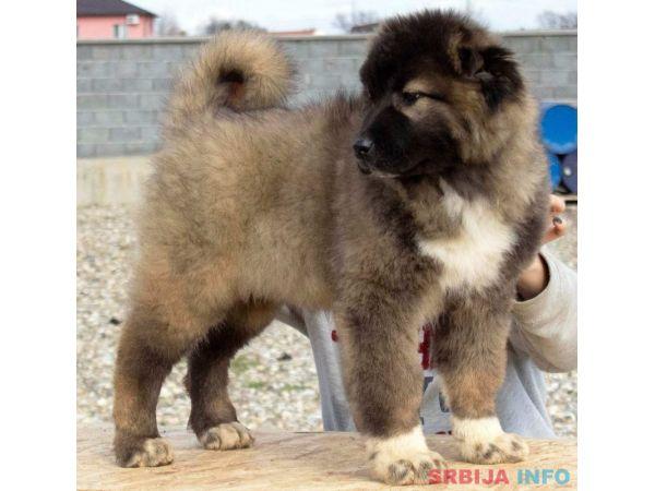 Kavkaski ovčar štenci