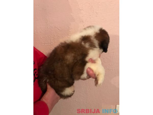 Bernardinac štenci