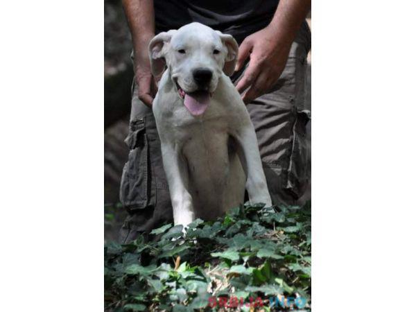 Dogo argentino, žensko štene
