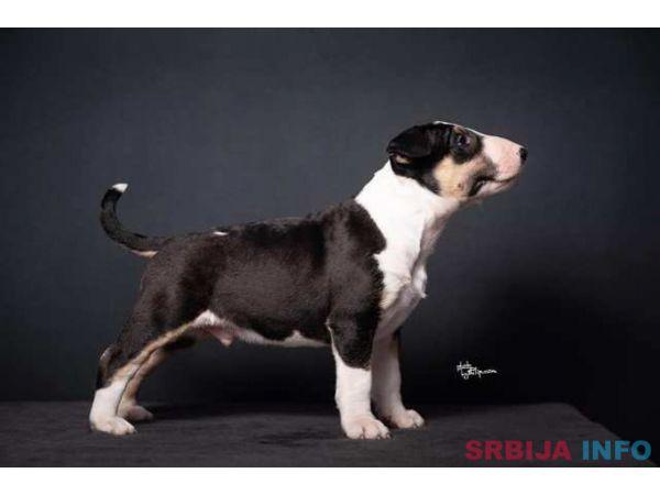 Bull terrier, štenci
