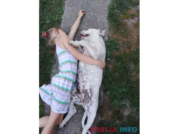 Američki buldog štene