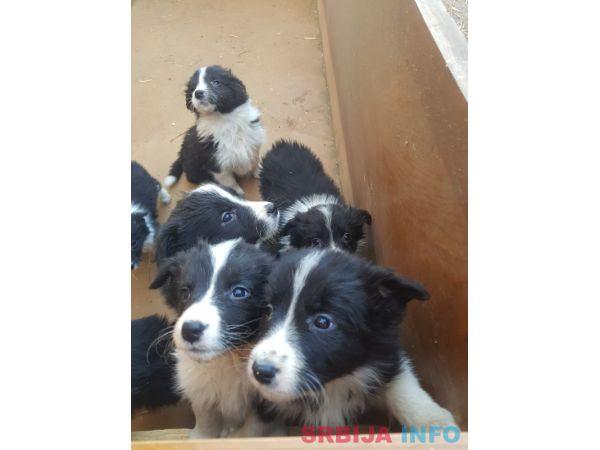 Border koli štenci
