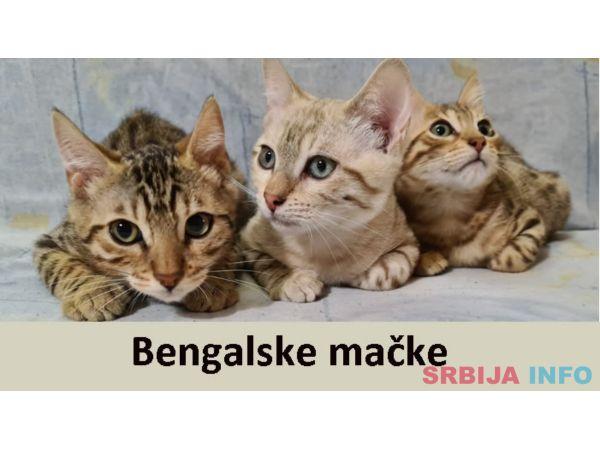 Bengalske mačke od odgajivača