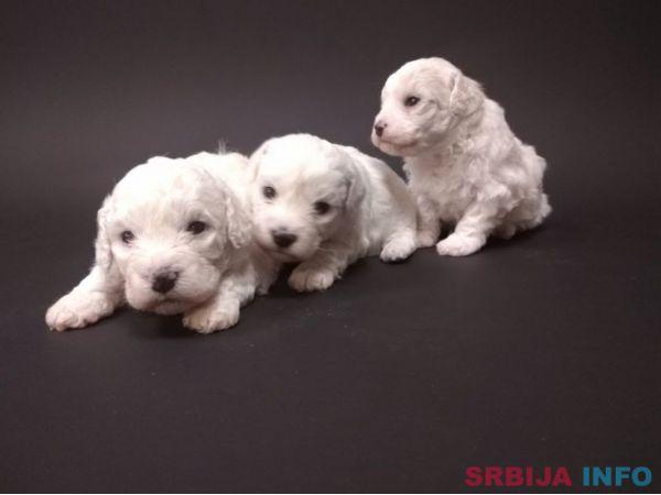 Kovrdžavi bišon štenci