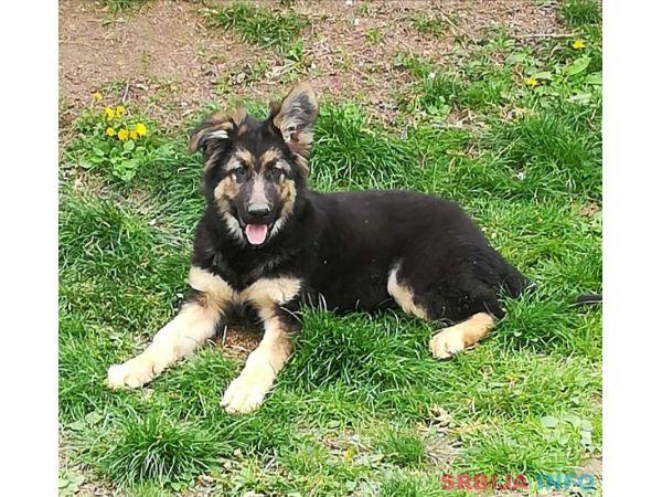 Nemački ovčar štene