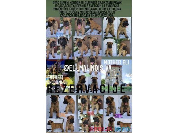 Belgijski ovčar MALINOA štenci