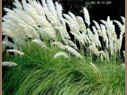 Pampas trava direktna proizvodnja