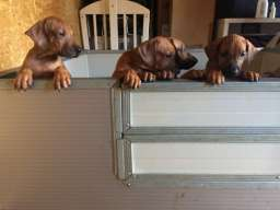 Rodezijski ridžbek, štene