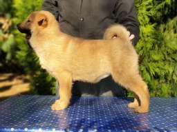 Koreanski Jindo pas štenci