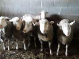 Prodajem Ildefrans ovce