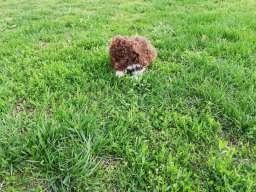 Lagoto romanjolo štenci