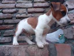 Džek rasel terijer štene