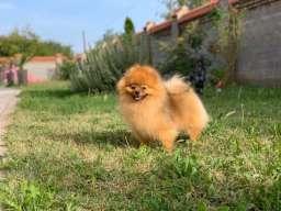 Pomeranac štenci