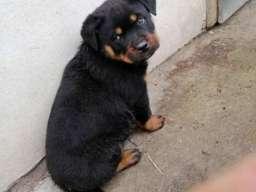 Rottweiler, muško štene