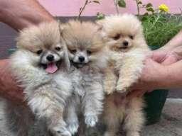 Nemački pomeranski špic, štenci
