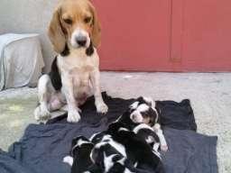 Na prodaju štenci bigla