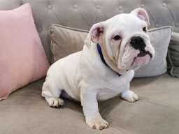 Engleski buldog štene