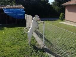 Mužjak dogo argentino za parenje