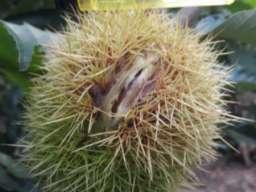 Kalemljeni kesten - prinos od 5 do 7 t po hektaru