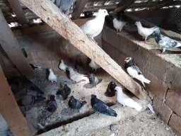 Prodajem golubove