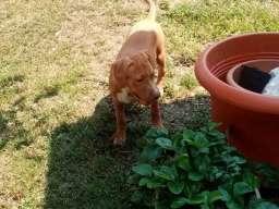 Pitbull štenci
