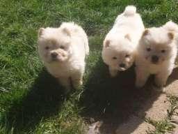 Čau - Čau štenci