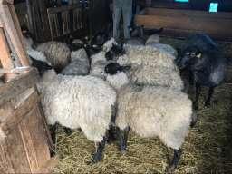 Umatičene romanovske ovce na prodaju