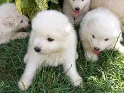 Samojed štenci