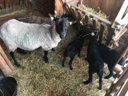 Romanovske ovce umatičene na prodaju