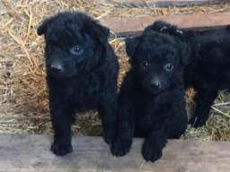 Pulin čistokrvni štenci