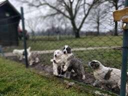 Srednjeazijski ovcar stenci