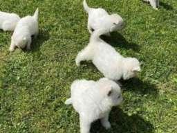 Beli Švajcarski ovcar, stenci