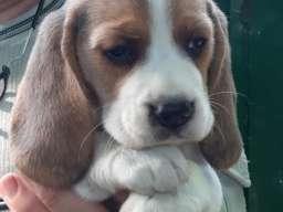 Bigl, štenci odličnog porekla