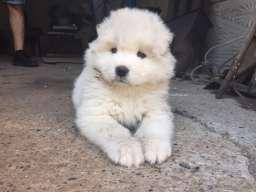 Sibirski samojed štenci