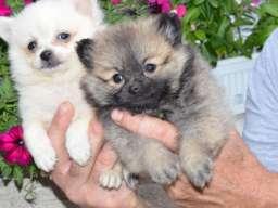 Nemački mali špic štenci