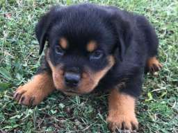 Rotvajler štenci na prodaju
