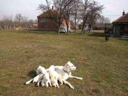 Stenci Srednjeazijskog ovcara