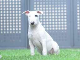 Bulterijer štene